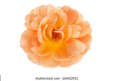 Peach pink garden rose flower isolated on a pure white background