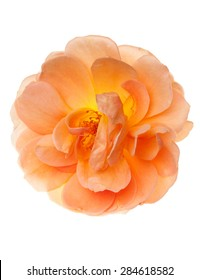Peach pink garden rose flower isolated floral on a pure white background.