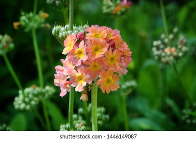 Peach Primula candelabra blooming in the sunlight