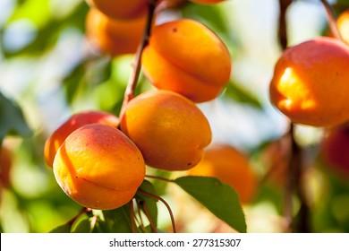 Peach (Prunus persica)