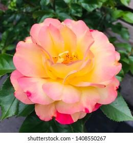 Peach tea rose. Adorable flower rose pink yellow close-up.
