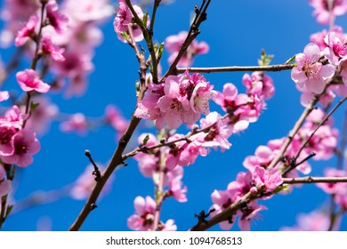 Peach tree in bloom. Blooming peach trees in spring.