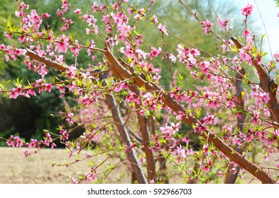 Peach Tree with Peach Blossoms