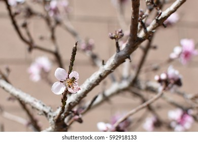 Peach tree blossoms with honey bee
