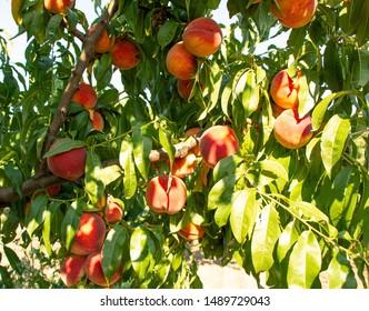 Peach tree. A branch of ripe peaches. Fruit tree.