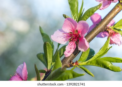 Peach tree flower spring bloom. Close up artistic shot