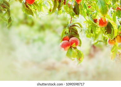 Peach tree with peach fruits