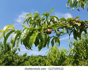 peach tree on the farm