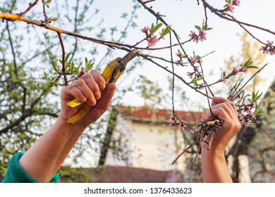 Peach tree pruning with secateurs in the garden