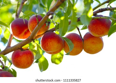 Peach tree with ripe fruits on branches