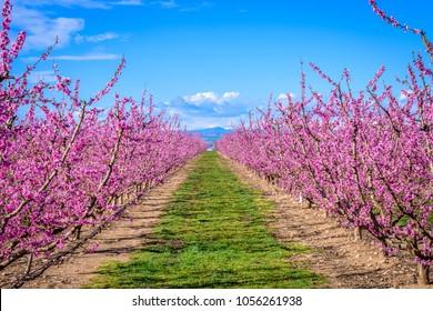 Peach trees blooming in the spring (Aitona, Lerida, Catalonia, Spain)