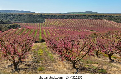 Peach Trees in Early Spring Blooming in Aitona, Catalonia
