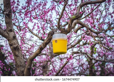 Peach trees full of pink flowers in the spring season. (yellow instect trap)