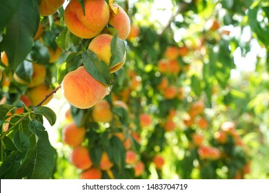 Peach trees loaded with ripe peaches waiting to be plucked.