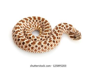 Peach Western Hognose Snake (Heterodon nasicus) isolated on white background.