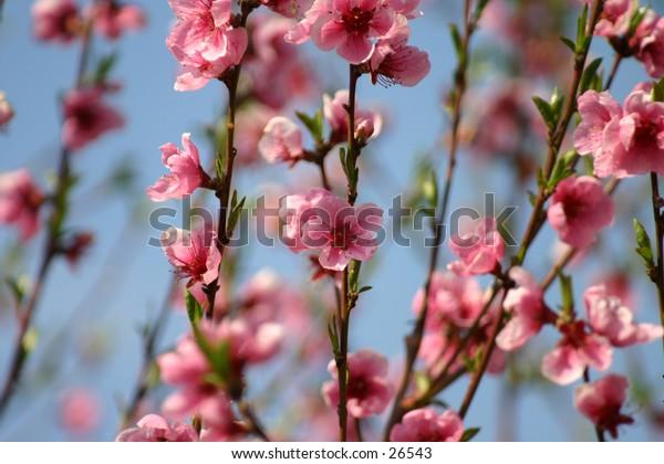 peaches' flowers