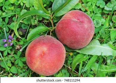 Peaches fruits laying on green grass in a garden