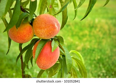 Peaches on Green, Grassy Background - Ripe peaches on the branch of a tree with soft green background