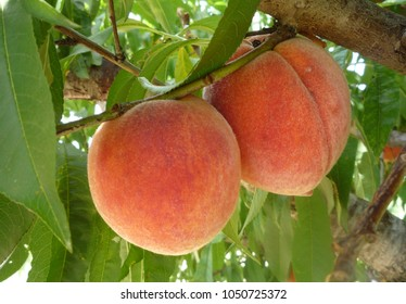 Peaches ripe for picking in a Texas peach orchard.