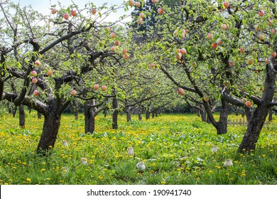 Peaches trees landscape, with yellow dandelions and white jars