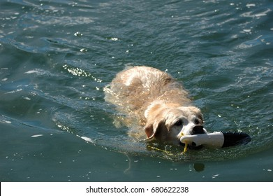Peaches the Yellow Lab retriving the pond.