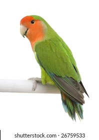 Peach-faced Lovebird -Agapornis roseicollis in front of a white background  in front of a white background