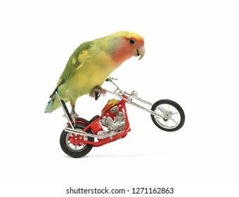 a peach-faced lovebird is perched on a toy motorcycle with its front wheel in the air, in white setting.