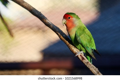 Peach-faced lovebird or Rosy-faced lovebird(Agapornis roseicollis) standing on a branch