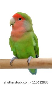 Peach-faced lovebird sitting on a stick, isolated on white background.