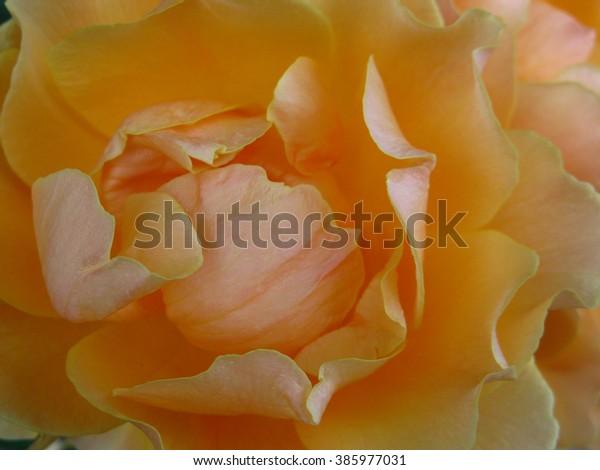 Peachy Gold Rose
