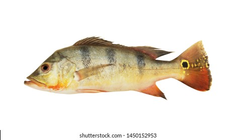 Peacock bass fish isolated on white background