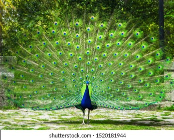 Peacock. Beautiful peacock. Peacock showing its tail