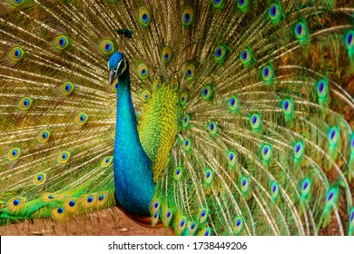 peacock. The beauty of the peacock spreading wings. Action and movement of peacock.