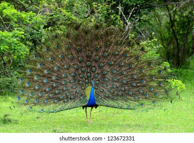 peacock. A bird in the wild. The national Park of Sri Lanka