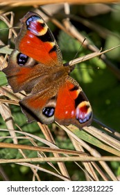 Peacock butterfly (Aglais io) basking in the sun, Cornwall, England, UK.