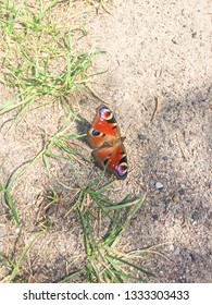 Peacock butterfly (Aglais io) is a colourful butterfly, found in Europe and temperate Asia as far east as Japan.