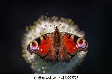 Peacock butterfly (Aglais io) sitting on a flower