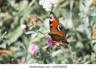Peacock butterfly extracts the nectar from the flower of the clover (Aglais io)
