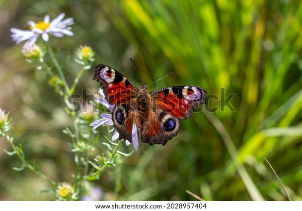 peacock-butterfly-lataglais-io-formerly-