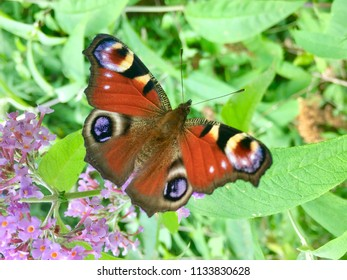 Peacock Butterfly on a Buddleia Plant