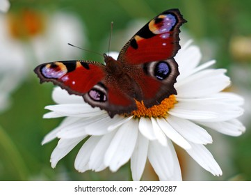 Peacock butterfly on a camomile