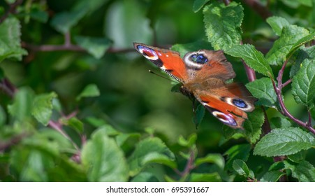 Peacock Butterfly on hedge with damaged false eye on wing