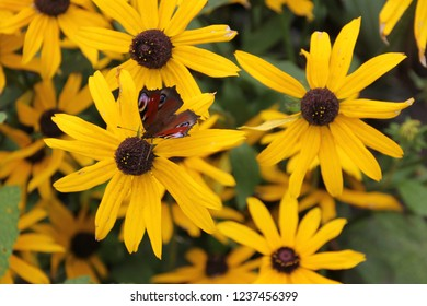 peacock butterfly sits on a rudbeckia flower, rudbeckia and butterfly, a clump of rudbeckia flowers in full bloom