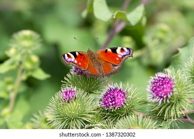 A peacock butterfly is sitting on a big burdock