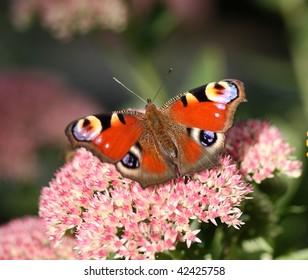 Peacock butterfly sitting on sedum