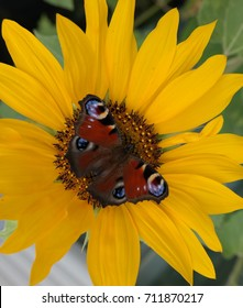peacock butterfly visiting sunflower