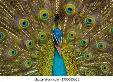 Peacock capture in KL Bird