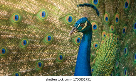 Peacock, colorful and with open feathers, the turkey shows its eyes and feathered crest.