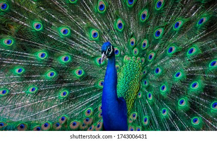 Peacock Dance Display - Peacock Showing Feathers