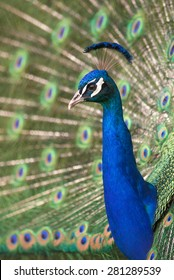 Peacock displaying full tail spread colors